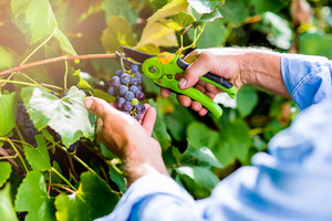 Hands of unrecognizable man cutting bunch of ripe blue grapes