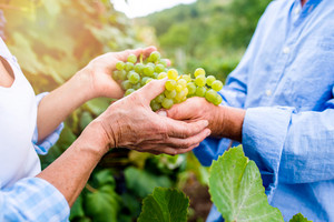 Hands of unrecognizable senior couple in blue shirts holding bunch of ripe green grapes in their hands