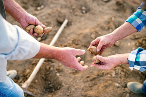 Hands of unrecognizable senior couple planting potatoes into the ground