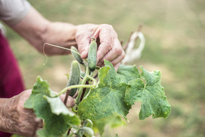 Hands of unrecognizable senior woman in her garden harvesting cucumbers. Close up.