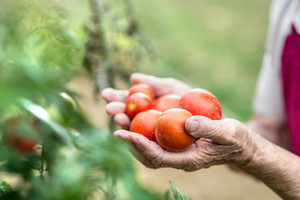 Hands of unrecognizable senior woman in her garden holding tomatoes. Close up.