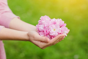 Hands of unrecognizable woman holding pink cherry blossoms, spring nature