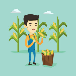 Happy asian farmer holding a corn cob on the background of corn field. Farmer collecting corn. Young smiling farmer standing near basket with corn. Vector flatdesign illustration. Square layout.