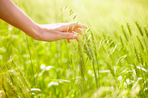 Horizontal image of human hand touching green wheat ears on field