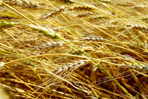 Horizontal image of wheat ears in autumn