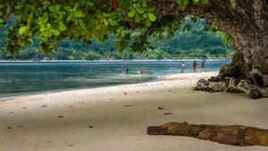 Huge Tree on Friwen Island, West Papuan, Raja Ampat, Indonesia