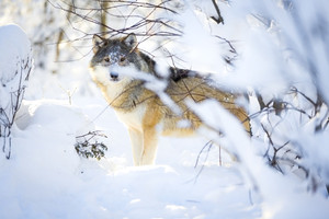Hunting wolf with wild eyes walking in beautiful winter forest