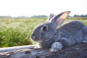 Image of cautious grey bunny lying on dry tree trunk outdoor