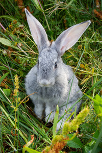 Image of cautious grey rabbit in green grass in summer