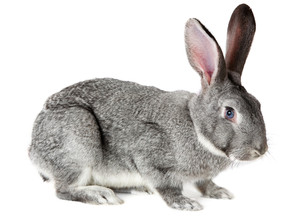 Image of cute grey rabbit isolated over white background