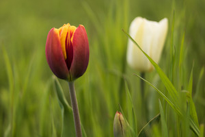 In the foreground red-yellow Tulip closeup. In the background a blurred white tulip and green grass.