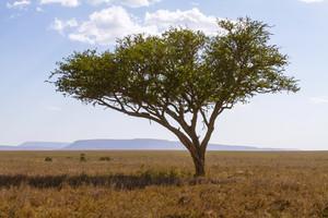 Leopard laying a tree in Serengeti, Tanzania Africa.