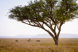 Leopard rests a tree in Serengeti, Tanzania Africa.