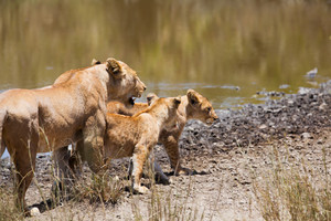 Lioness with two young cubs in Serengeti Tanzania, Africa.
