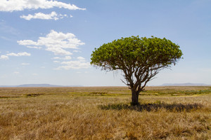 Lonely tree at the endless plains of Serengeti, Tanzania Africa.
