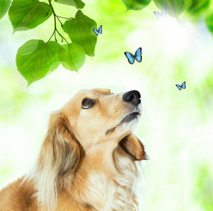 Long hair Dachshund looking at the blue butterflies with shiny green leaves