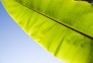Macro image of green tropical leaf against blue background