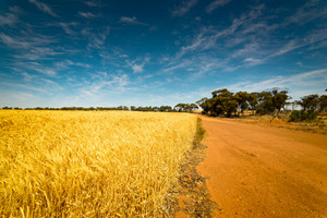 Off-road in the Golden wheat field, ,blue sky .