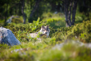 One wolf laying and rests in a norwegian summer forest.