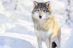 One wolf standing in beautiful winter forest