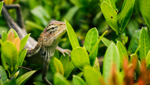 Oriental garden lizard on green leaves in Thailand