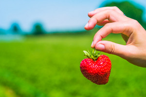 Picking a perfect fresh strawberry over defocused green strawberry field. Blue blurred sky in background