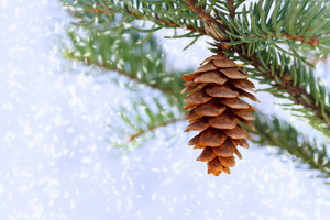 Pine branches with cone in snow