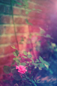 Pink rose by the brick wall in the garden