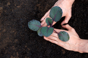 Planting young purple cabbage - fingers form a heart shape
