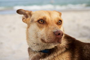 Portrait of a brown dog on the beach