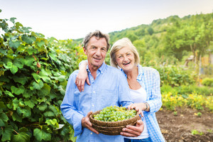 Portrait of a senior couple harvesting grapes
