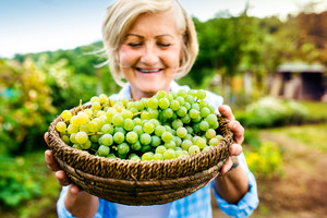 Portrait of a senior woman harvesting grapes