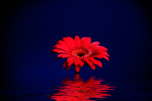 Red Gerbera Flower reflected on Water Surface