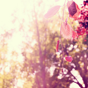 Red leaves with blurred sunny trees background