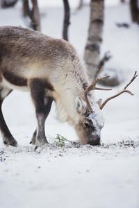Reindeer eat grass in Norwegian winter forest a cold winter.