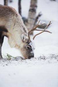 Reindeer eats grass in Norwegian forest a cold winter.