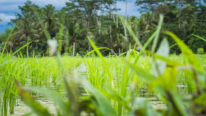 Rice field standing in the water in front of the palm trees, Bali, Indonesia