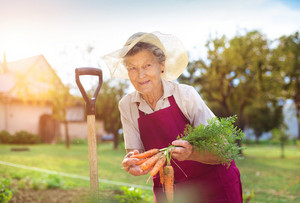 Senior woman in her garden harvesting carrots