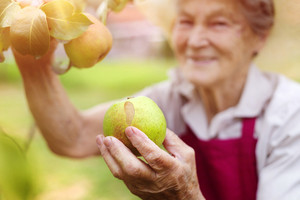 Senior woman in her garden harvesting pears