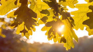 Shape of yellow oak tree leaves in warm sun light. Backlit flares through the foliage
