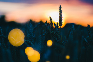 Silhouette of wheat ears in a field in evening light. Sunset flares and back lit. Beautiful sun flares bokeh in front
