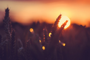 Silhouette of wheat ears in front of sun at sunset light. Natural light back lit. Beautiful sun flares bokeh
