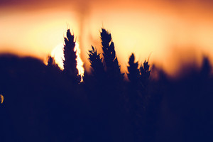 Silhouette of wheat ears in sunset back lit. Sun ball in background