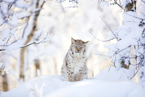 Sleepy cute lynx cub in the cold winter forest