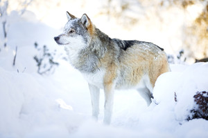 Snowy wolf stands in beautiful winter forest