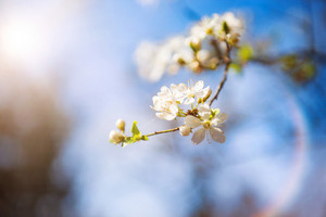 Spring blossom and buds on an apple tree