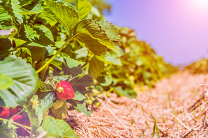 Strawberry field. Garden-bed with some ripe fruit. Bright sun flares in background