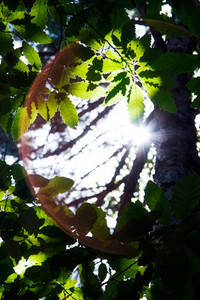 Sunshine through oak leaf