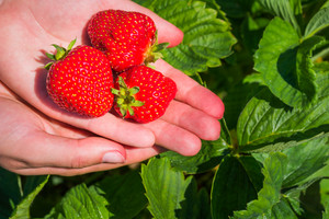 Three fresh picked delicious strawberries held over strawberry plants