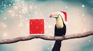 Toucan with a Santa hat and Christmas present on a tree branch